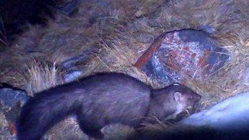 Каменная куница и мохноногий сыч попались в фотоловушки в Туве