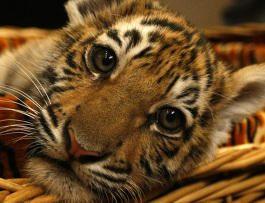 Неделя в защиту тигров пройдет с 4 по 10 октября по всему миру