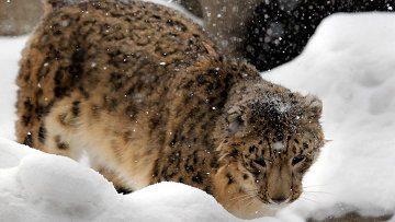 WWF предложит российским бизнесменам усыновить снежного барса