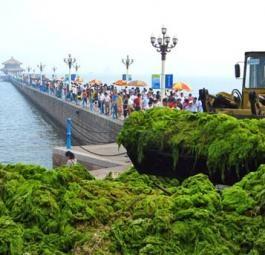Массивное нашествие зеленых водорослей в Желтом море!