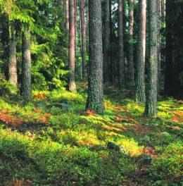 сколько,лесов,россии,лесах