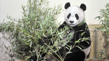 Гигантские панды, привезенные в Шотландию впервые за последние 17 лет