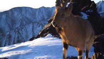 В фотоловушки поймали редких животных и другие звериные новости
