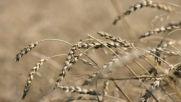В 2011 году в КНР собран рекордный урожай зерновых