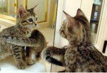 Можно ли воскресить кошку клонированием?
