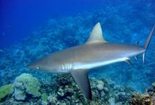 Ученые разгадали секрет быстрого плаванья акул