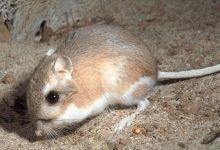 Соседство способствует выживанию кенгуровых крыс
