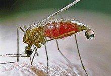 Малярию будут лечить с помощью малярийных комаров