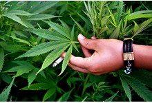 Ученым удалось расшифровать геном марихуаны