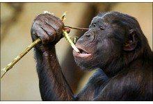 Самки карликовых шимпанзе более продвинутые