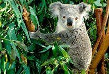 Австралийские коалы на грани вымирания