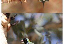 Цветные птицы подтвердили животный страх перед красным