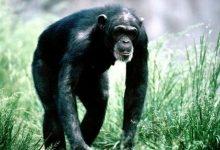В случае опасности шимпанзе не просто предупреждают об этом своих собратьев
