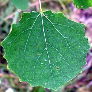 Цветковые растения совершенствовали систему водоснабжения листьев в режиме строгой экономии