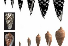 Воспоминания моллюсков выводят узоры на растущих раковинах